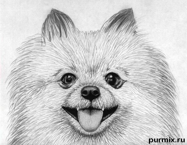 How to draw a dog of breed the Pomeranian spitz-dog with a pencil