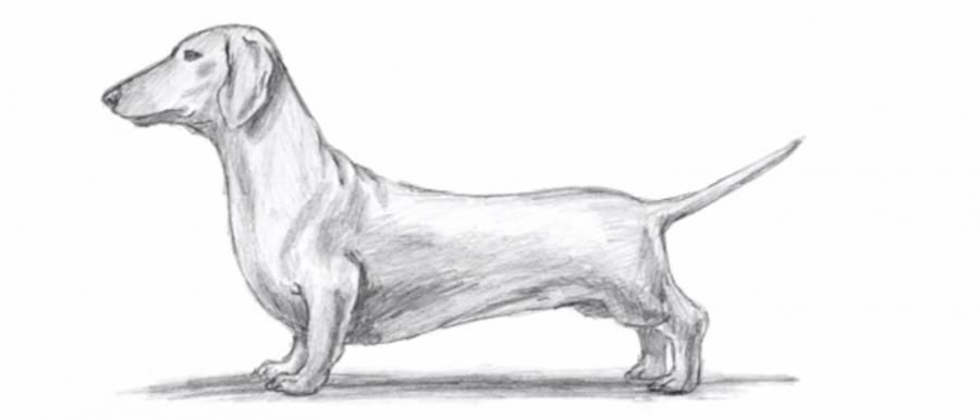 How to draw a dog a dachshund simple with pencils step by step