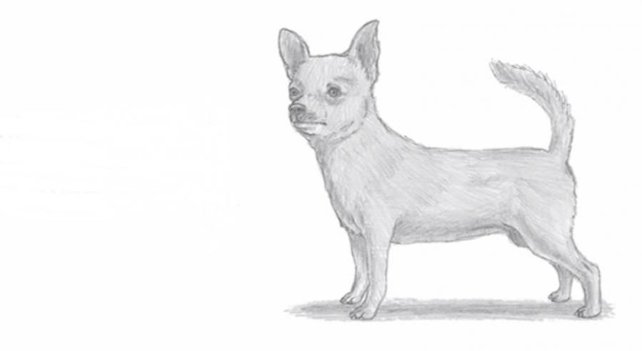 How to learn to draw the Chihuahua a simple pencil step by step