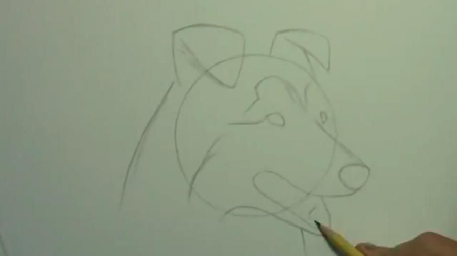 How to draw a bulldog on paper with a pencil step by step 3