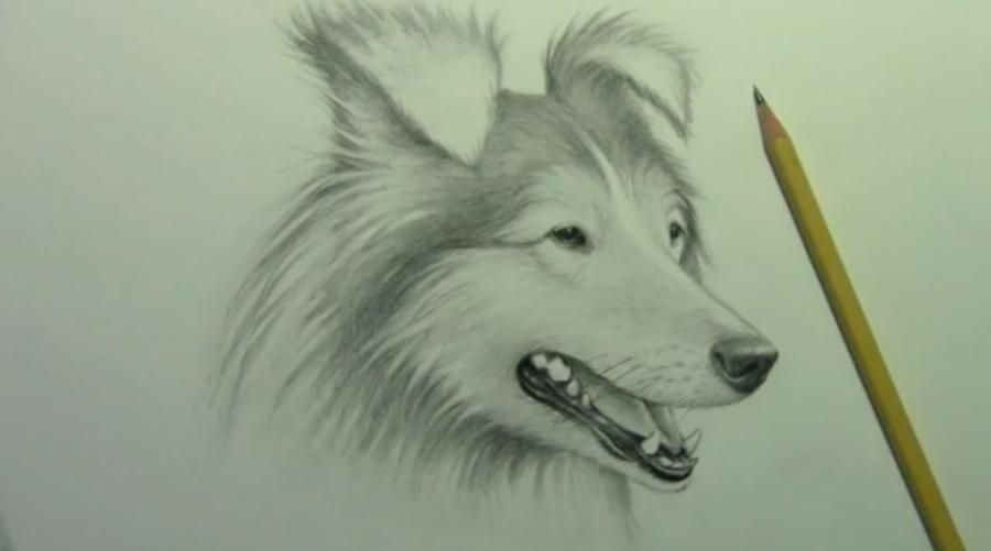 How to draw a dog of breed of the Sheltie with a pencil step by step