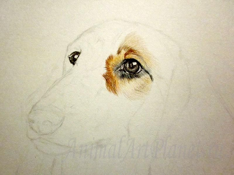 How to draw the Staffordshire Terrier with a pencil 3
