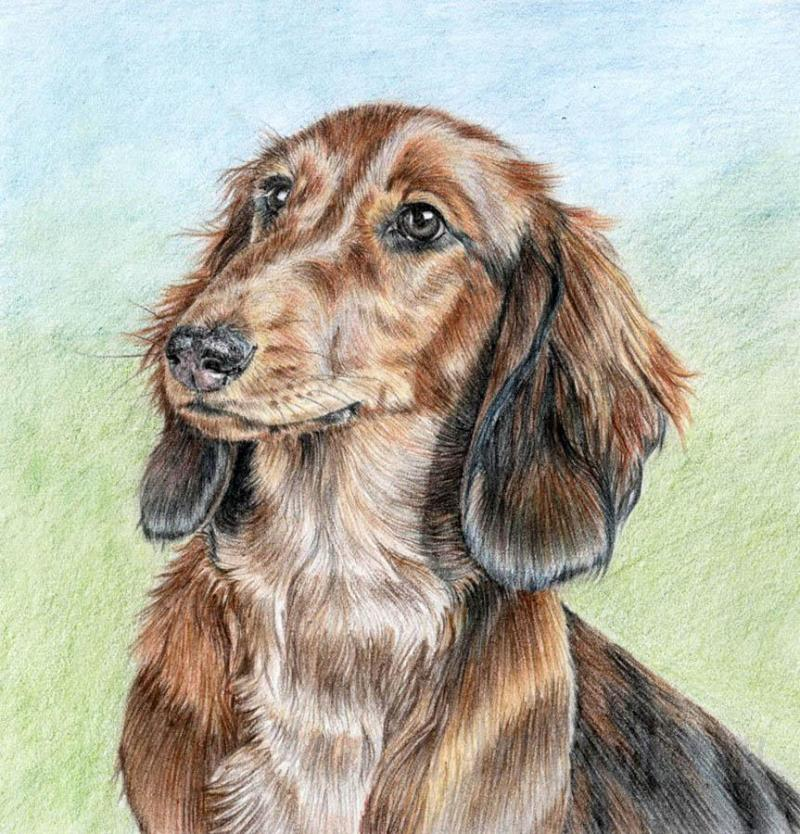 How to draw the Dachshund with colored pencils step by step