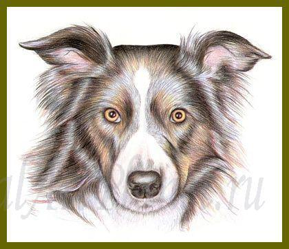 How to draw the Border Collie dog with colored pencils step by step