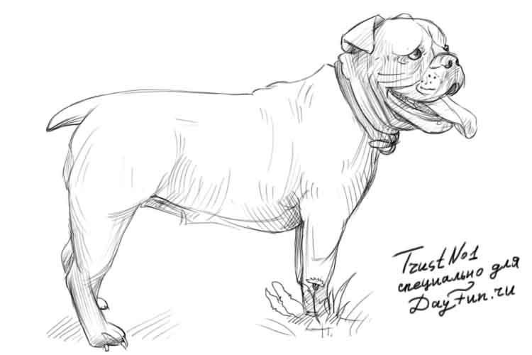 How to draw a bulldog on paper with a pencil step by step