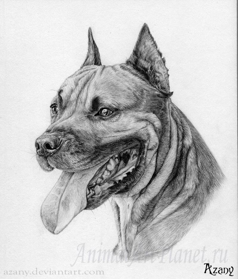 How to draw the Staffordshire Terrier with a pencil