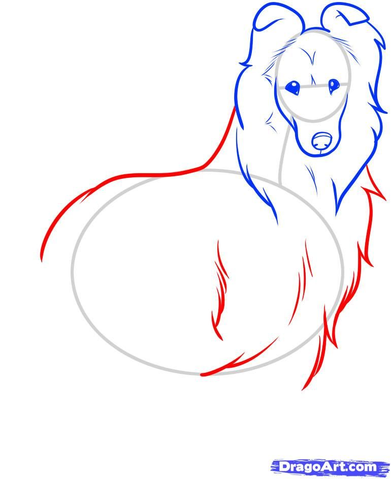 How to draw the Icelandic sheep-dog step by step 6
