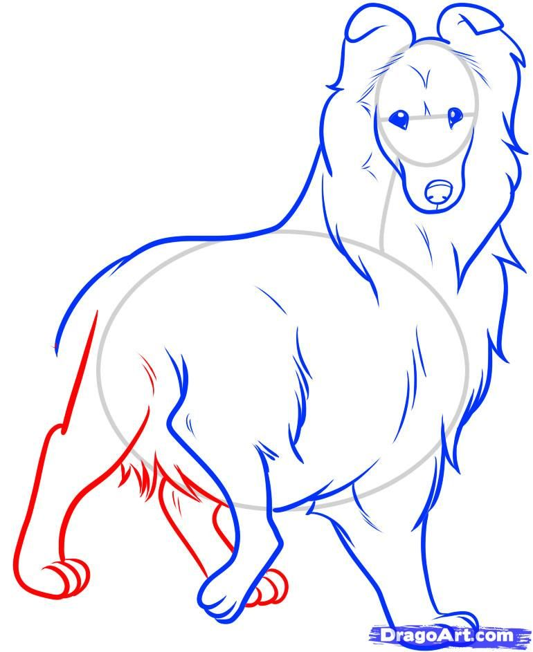 How to draw the Icelandic sheep-dog step by step 8