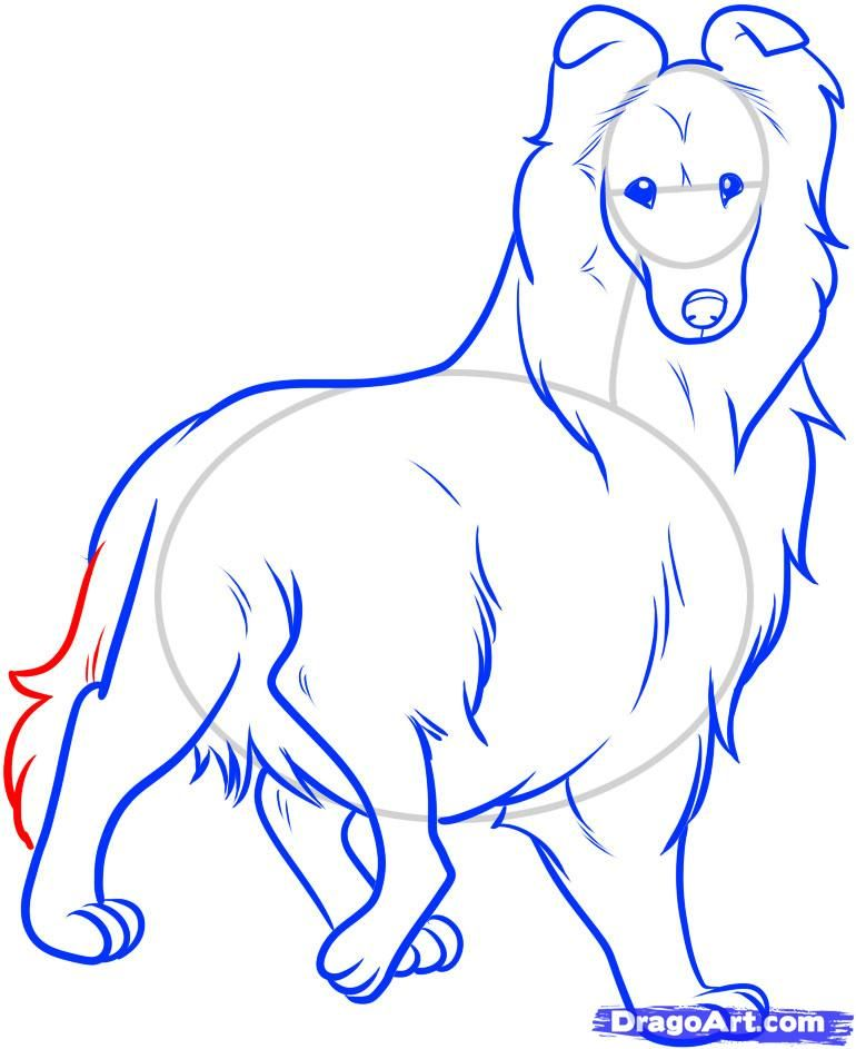 How to draw the Icelandic sheep-dog step by step 9