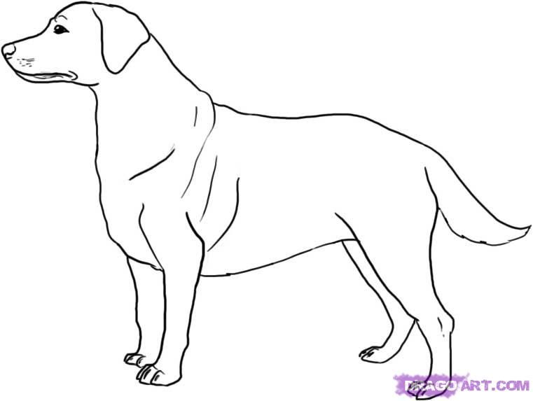 How to draw Labrador with a pencil step by step